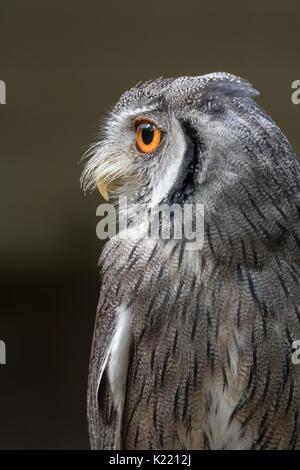 Close up profile photo d'un Indien scops Otus bakkamoena regardant vers la gauche en format vertical vertical Banque D'Images