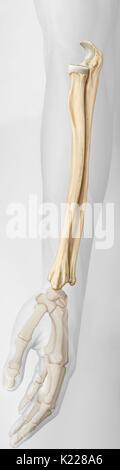 Les os de l'avant-bras, qui sont le rayon et le cubitus. Banque D'Images