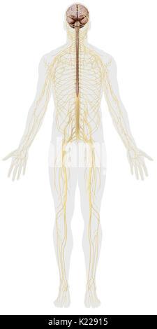 Le système nerveux est constitué de deux entités distinctes avec des rôles définis: le système nerveux central Banque D'Images