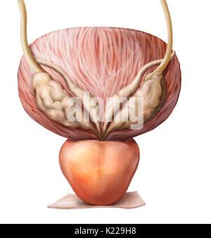 Cette image montre la vessie, l'urètre et de la prostate. Banque D'Images