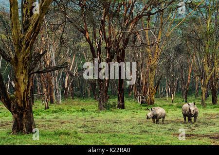 La réserve du lac Nakuru, Kenya, Afrique Deux rhinos, mère et fils, photographié dans la forêt du Lac Nakuru Banque D'Images