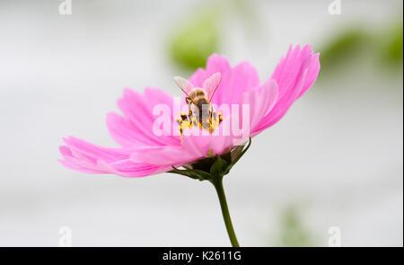 Abeille sur fleur Cosmos bipinnatus. Banque D'Images