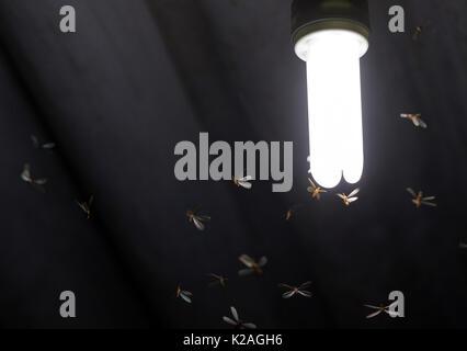 De nombreux papillons / termites volants fermer pour un allumé lampe blanche sur le toit d'une maison Banque D'Images