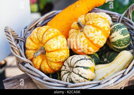Concept du panier alimentaire. Halloween pumpkins colorés dans un osier en bois. Les agriculteurs de l'automne, Banque D'Images