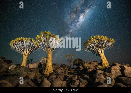 Forêt Quiver Tree (Aloe dichotoma) la nuit avec les étoiles et la Voie lactée, Keetmanshoop, la Namibie. Banque D'Images