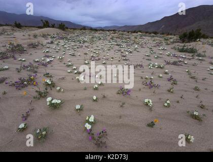 Primrose dune de sable, de la verveine, et sortir de l'or du désert le sable après de brèves pluies de printemps Banque D'Images
