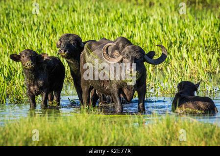 Buffle d'Asie sauvage (Bubalus arnee) dans la zone de marais, Pantanal, Mato Grosso do Sul, Brésil Banque D'Images