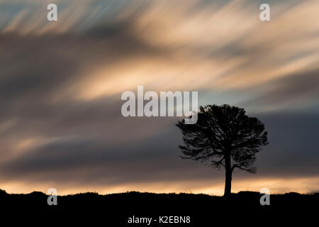 Seul le pin sylvestre (Pinus sylvestris) qui se profile à l'aube, Kinveachy Forêt, Parc National de Cairngorms, Banque D'Images