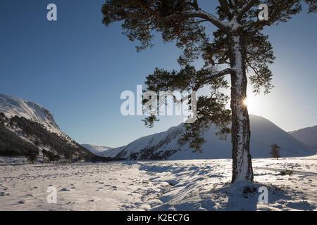 Seul le pin sylvestre (Pinus sylvestris) en hiver soleil, Glenfeshie, Parc National de Cairngorms, en Écosse, au Banque D'Images