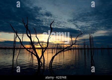 Arbres Mopane morts (Colophospermum mopane) partiellement submergée dans le lac Kariba au coucher du soleil, Matusadona Banque D'Images