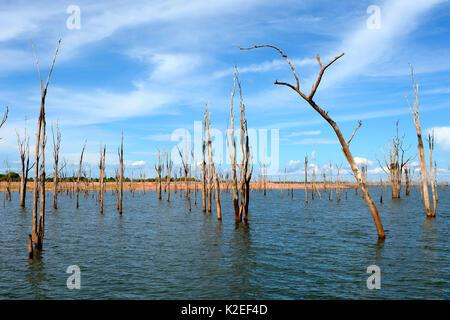 Arbres Mopane morts (Colophospermum mopane) Partiellement immergé dans le lac Kariba, Matusadona National Park, Banque D'Images