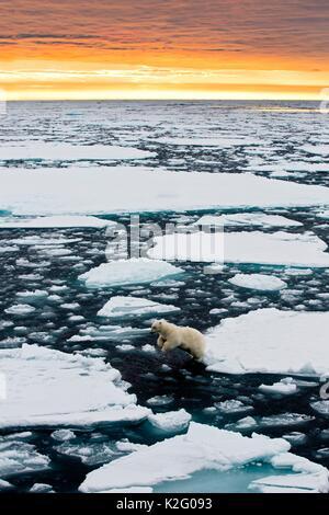 Un ours blanc bondit entre des blocs de glace flottant dans l'océan Arctique au nord du Spitzberg, au coucher du Banque D'Images