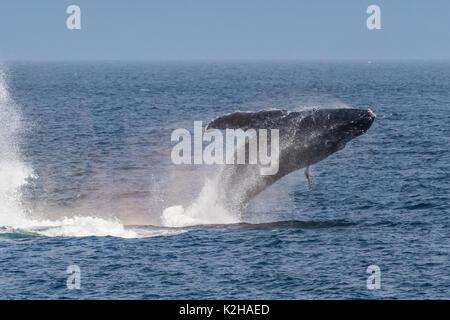 Baleine à bosse (Megaptera novaeangliae) violer dans le sud-est de l'Inside Passage. Banque D'Images