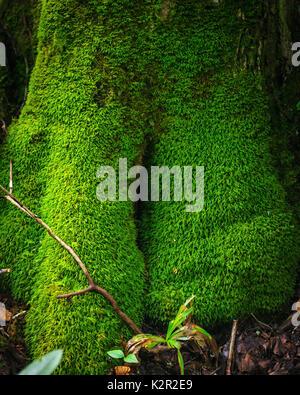 Arbre couvrant de mousse vert vif - ce sentier a Beacon Heights arbre cool avec plein de poils long mousse verte Banque D'Images