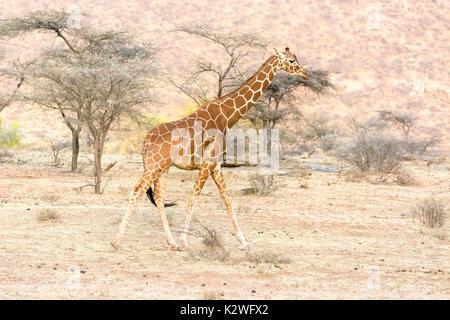 Vue latérale d'un solitaire giraffe réticulée, Giraffa camelopardalis reticulata, randonnée pédestre à Buffalo Springs National Reserve, Kenya, Afrique de l'Est