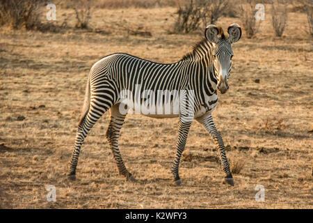 Vue latérale d'un sauvage solitaire, Zèbre de Grévy Equus grevyi, looking at camera, Buffalo Springs Réserve Nationale, Banque D'Images