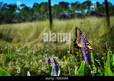 Eastern tiger swallowtail Banque D'Images