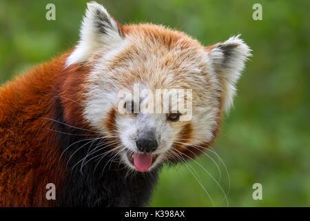 Le panda rouge (Ailurus fulgens) au Zoo Vierge Des Moines, IA, USA Banque D'Images
