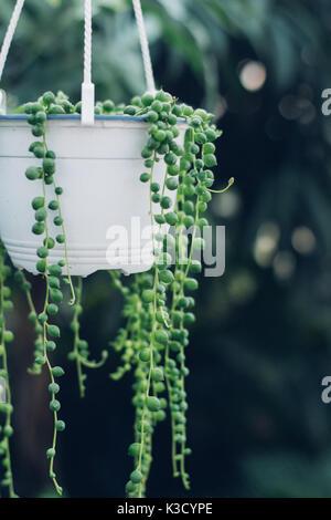 String of pearls plante succulente accroché dans une serre, symbolisant le calme et la sérénité Banque D'Images