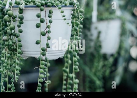 String of pearls plante succulente accroché dans une serre, symbolisant le calme et la sérénité avec des prix pour Banque D'Images