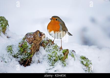 Rougegorge familier Erithacus rubecula aux abords, adultes, debout sur la neige, Banque D'Images