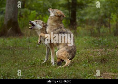 Le loup gris d'Europe, Canis lupus lupus, deux loups, lutte contre l'Allemagne Banque D'Images