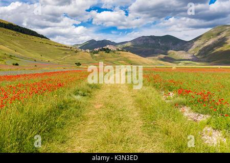 Une route entre les champs de coquelicots et de lentilles, Castelluccio di Norcia, Ombrie, Italie. Banque D'Images