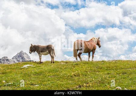 Cheval et âne brouter sur les pelouses près de refuge Lavaredo, Veneto, Dolomites, Italie, Europe. Banque D'Images