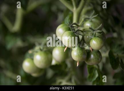 Bouquet de tomates vertes sur une branche Banque D'Images