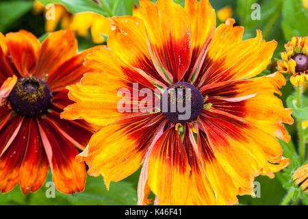 Rudbeckia hirta 'Cappuccino', Susan Gloriosa Daisy aux yeux noirs Banque D'Images