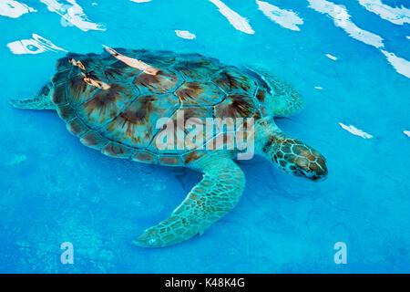 Tortue de mer tortue imbriquée Eretmochelys imbricata dans un centre de réadaptation à Cancun au Mexique. La tortue Banque D'Images