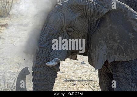 La pulvérisation de l'éléphant lui-même avec la poussière. Prise à l'Olifantsrus point d'eau dans le Parc National d'Etosha, Namibie