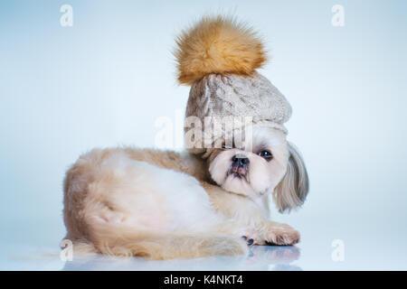 Shih Tzu chien avec coupe courte debout sur fond de pelouse verte Banque D'Images, Photo Stock ...