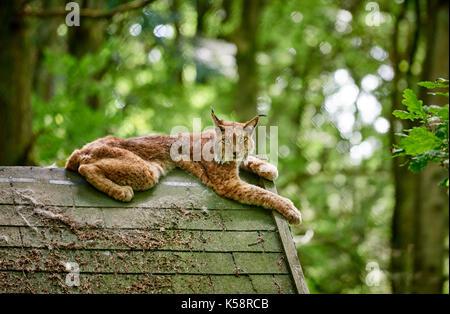 Lynx eurasien portant sur un toit dans un zoo Banque D'Images