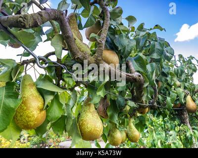 Conférence de l'espalier ESPALIERED Pear Tree (Pyrus communis) poires dessert l'espalier formés dans un jardin potager