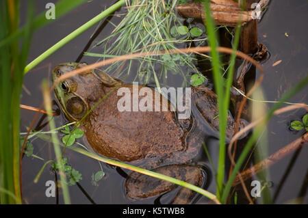 Un gros bull frog fixant dans un étang