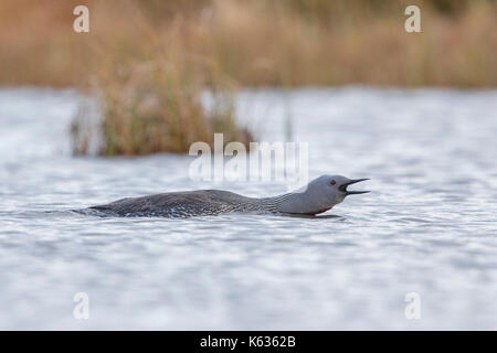 Plongeon catmarin (Gavia stellata), des profils composant Banque D'Images