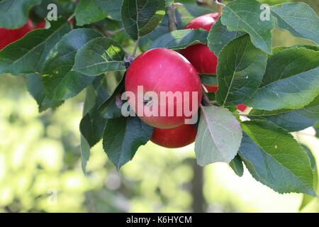 Découverte rouge fruits apple, Malus domestica, suspendu à la branche d'un pommier à la fin de l'été, Shropshire, Banque D'Images