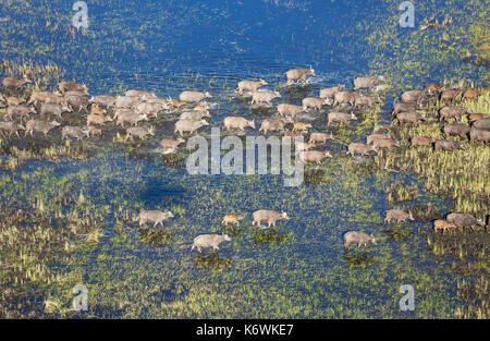 Buffle (syncerus caffer caffer), traversant une zone de marais, vue aérienne, delta de l'Okavango, moremi, botswana Banque D'Images