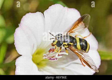 Chrysotoxum bicinctum hoverfly (femelle) se nourrissant de liseron des champs