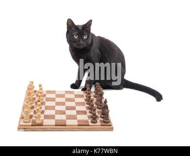 Chat noir assis derrière un échiquier, on white