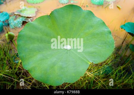 Matin rosée goutte rouler de haut en bas sur un grand lotus vert partir. Banque D'Images