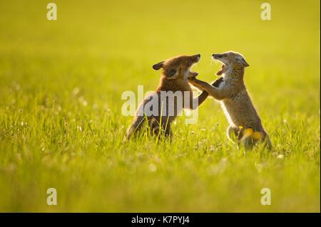Fox deux oursons jouant dans le coucher du soleil d'été Banque D'Images
