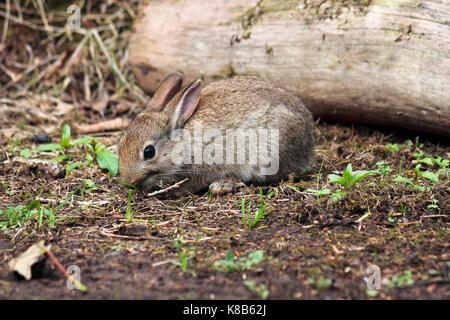 Jeune lapin sauvage UK Oryctolagus cuniculus le pâturage Banque D'Images
