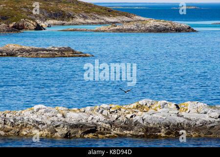 Cerf Volant Aigle de mer d'une petite île rocheuse dans Sundsvollsundet réserve naturelle sur la côte du nord de Banque D'Images