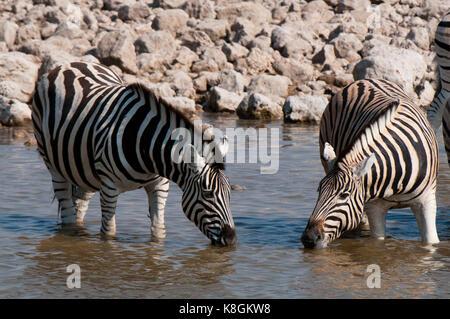 Le zèbre de Burchell (Equus burchellii), Etosha National Park, Namibie Banque D'Images