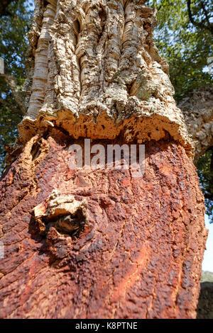 Tronc de chêne-liège - Quercus suber - dépouillé de Cork, dans le sud de l'Estrémadure, Espagne. Banque D'Images