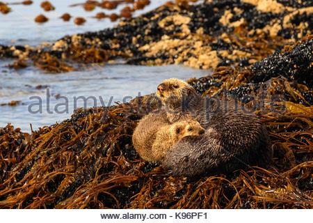 La mère et le chiot, les loutres de mer (Enhydra lutris), sur un lit de varech en terre Kachemak Bay. Banque D'Images