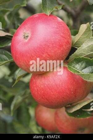 Malus domestica 'Découverte' pommes sur la branche à la fin de l'été dans un jardin anglais Banque D'Images
