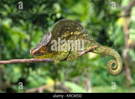 Caméléon panthère mâle, parson's chameleon, calumma parsonii), (chameleonidae), endémique de Madagascar, le parc Banque D'Images